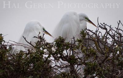 Great Egrets Newark, California 1405N-GE2