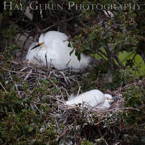 Snowy Egrets sitting Nests Newark, California 1405N-SE18N