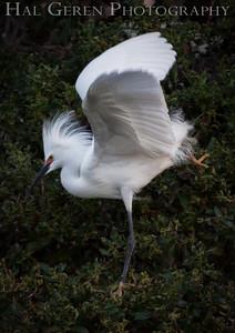 Snowy Egret Stretching Newark, California 1405N-SE11