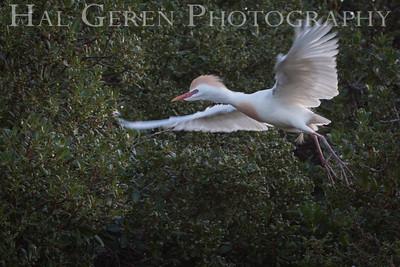 Cattle Egret male Newark, California 1405N-CE3