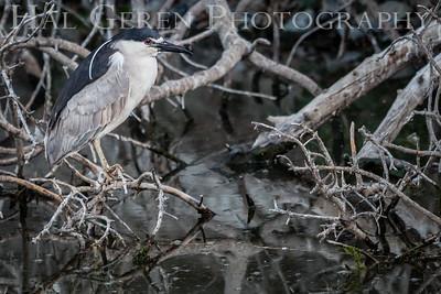 Black Crowned Night Heron Newark, California 1405N-BCNH5