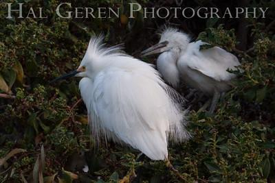 Snowy Egret Male and Young Fledglinig Newark, California 1405N-SE10