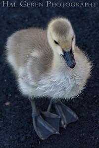 Duckling Newark, California 1405N-D7