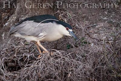 Black Crowned Night Heron Newark, California 1405N-BCNH2