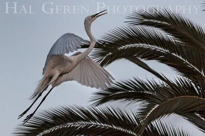 Great Egret Takeoff Newark, California 1405N-GE12