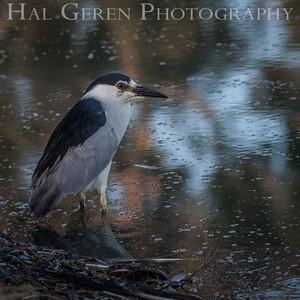 Black Crowned Night Heron Newark, California 1405N-BCNH1