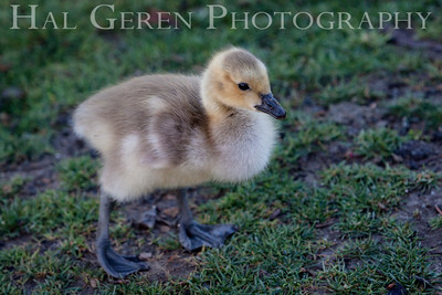 Duckling Newark, California 1405N-D2