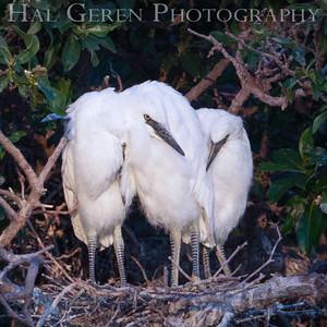 Snowy Egret Fledglings Newark, California 1405N-SE13