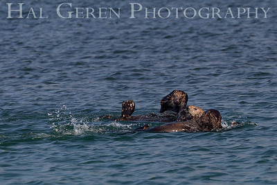Sea Otters Playing Elkhorn Slough, Moss Landing, CA 1809E-SOPO1
