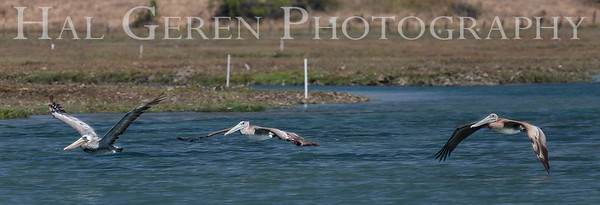 Brown Pelicans Elkhorn Slough, Moss Landing, CA 1809E-PGB3