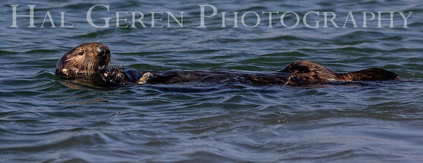 Sea Otter Eating Shell Fish Elkhorn Slough, Moss Landing, CA 1809E-SOESF4