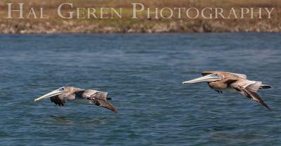 Brown Pelicans Elkhorn Slough, Moss Landing, CA 1809E-PBG2