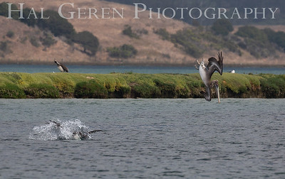 Brown Pelicans diving for food Elkhorn Slough, Moss Landing, CA 1809E-PBPD1