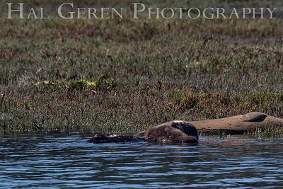 Sea Otter with Pup across Chest Elkhorn Slough, Moss Landing, CA 1809E-SOWPOF2