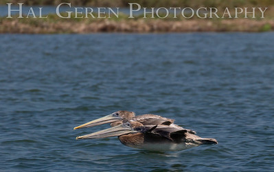 Brown Pelicans Elkhorn Slough, Moss Landing, CA 1809E-PBPF1