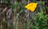 California Poppy<br /> Elkhorn Slough, California<br /> 1503D-P1
