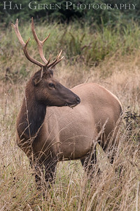 Tule Elk Male Prairie Creek Redwoods, California 1708C-TEM2