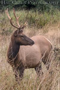 Tule Elk Male Prairie Creek Redwoods, California 1708C-TEM2
