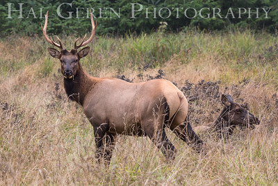 Tule Elk Prairie Creek Redwoods, California 1708C-TEMAJ1