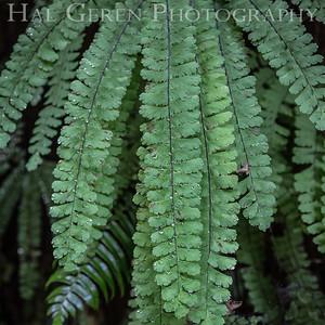 Fern Canyon Prairie Creek Redwoods, California 1708C-FW2