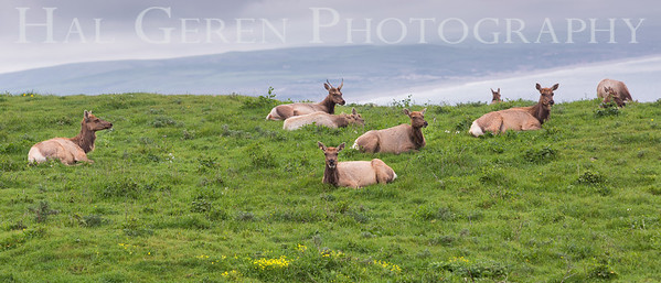 Tule Elk North Beach, Point Reyes, California  1703PR-TE2