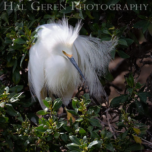 Snowy Egret Male in his Courting Display Lakeshore Park, Newark, California 1805N-SEMIHCD14