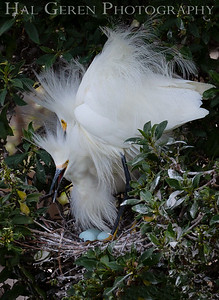 Snowy Egret Pair with Eggs Lakeshore Park, Newark, California 1805N-SEPWE2A