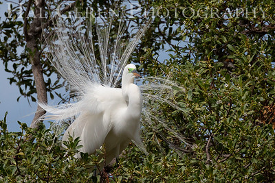 Great Egret Male in his Courting Display Lakeshore Park, Newark, California 1805N-GE1