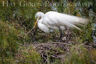 Great Egret  Lakeshore Park, Newark, California 1805N-GE4