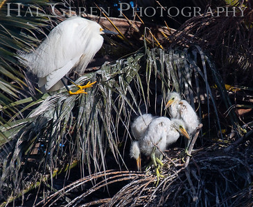 Great Egret with Fledglings Lakeshore Park, Newark, California 1805N-GEWC4