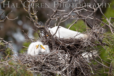 Great Egret Fledglings Lakeshore Park, Newark, California 1805N-GGEF1