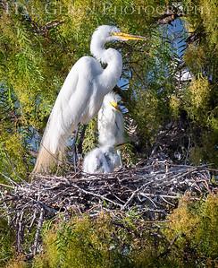 Great Egret with Fledglings Lakeshore Park, Newark, California 1805N-GEWC7