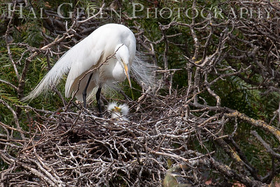 Great Egret with Fledglings Lakeshore Park, Newark, California 1805N-GEWC1