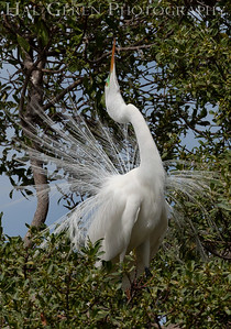 Great Egret Male in his Courting Display Lakeshore Park, Newark, California 1805N-GE2