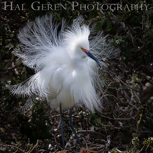 Snowy Egret Male in his Courting Display Lakeshore Park, Newark, California 1805N-SEMIHCD10