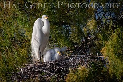 Great Egret and Fledglings Lakeshore Park, Newark, California 1805N-0046