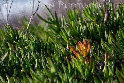 Iceplant Lakeshore Park, Newark, California 1805N-I2E1