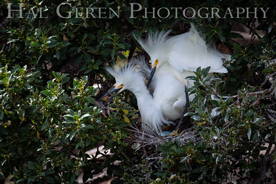 Snowy Egret Pair with Eggs Lakeshore Park, Newark, California 1805N-SEWE1