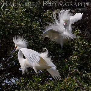 Snowy Egret Males Lakeshore Park, Newark, California 1805N-SEM1
