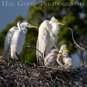 Great Egret Nest Lakeshore Park, Newark, California 1805N-GEF1