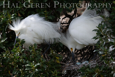 Snowy Egret Pair with Eggs Lakeshore Park, Newark, California 1805N-SEPWE5