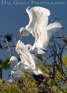 Great Egrets Lakeshore Park, Newark, California 1805N-GEK1
