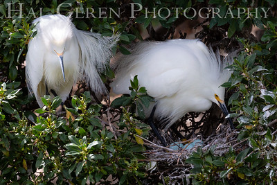 Snowy Egret Pair with Eggs Lakeshore Park, Newark, California 1805N-SEPWE4