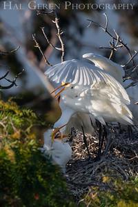 Great Egret Feeding Family Lakeshore Park, Newark, California 1805N-GEFF1