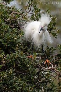 Snowy Egret Male in his Courting Display Lakeshore Park, Newark, California 1805N-SEMIHCD8