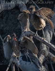 Black Crowned Night Heron Fledglings Lakeshore Park, Newark, California 1805N-BCNHF1