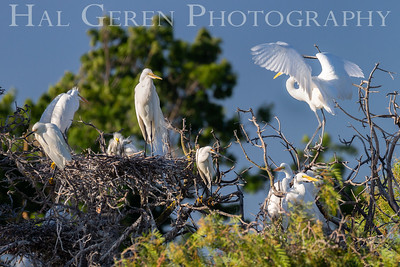 Great Egret Nest and Community Lakeshore Park, Newark, California 1805N-GEK2