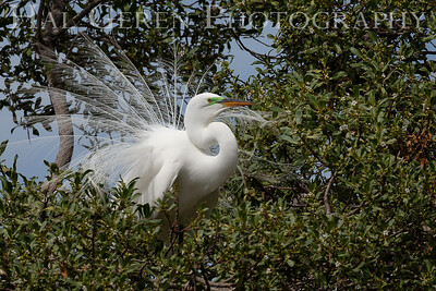Snowy Egret Male in his Courting Display Lakeshore Park, Newark, California 1805N-SEMIHCD7