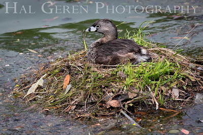 Pie Eyed Grebe on Nest Lakeshore Park, Newark, California 1805N-PEGON2