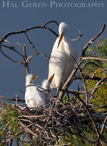 Great Egret with Fledglings Lakeshore Park, Newark, California 1805N-GEWC5\